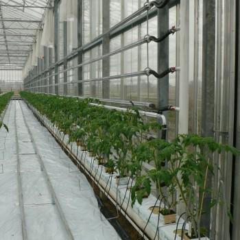 Pomidor 1HA